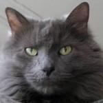 Gato-Nebelungo