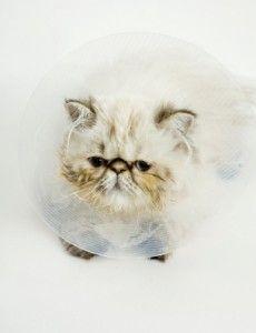 gato persa enfermo