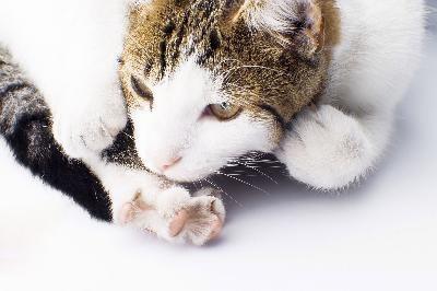 gato lamiendo pata