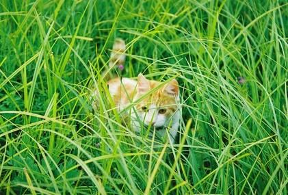 igato en la hierba