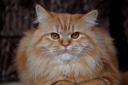 cara de gato peludo