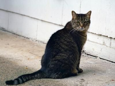 gato sentado con cola larga