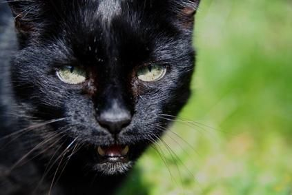 gato jadeando