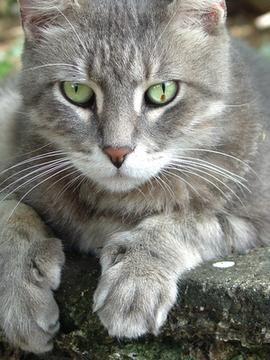 gato mirando fijo ojos verdes