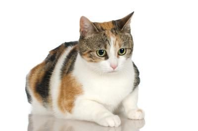 Esperanza De Vida Para Los Gatos Con Leucemia Felina Gatospedia