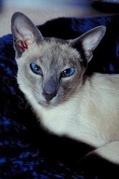 C 225 Ncer De Piel En Los Gatos Siameses Gatospedia