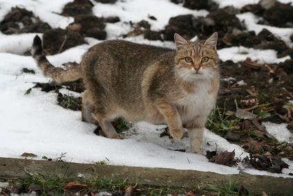 gato en la nieve