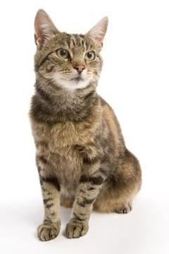 gato macho