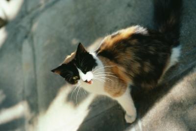 gato maullando calle