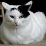 razas-de-gatos-van-turco-caracteristicas-video-fotos-animales-salvajes-felinos-acuatico