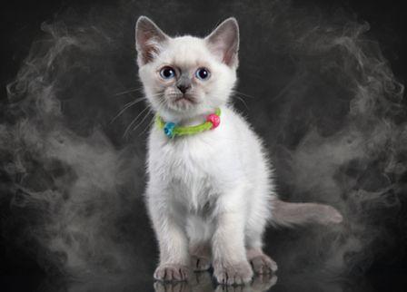 gato-fumaca